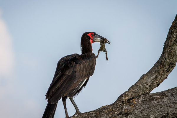 Mabula Game Lodge ground hornbill in a tree with frog