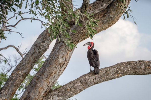 Mabula Game Lodge ground hornbill in a tree