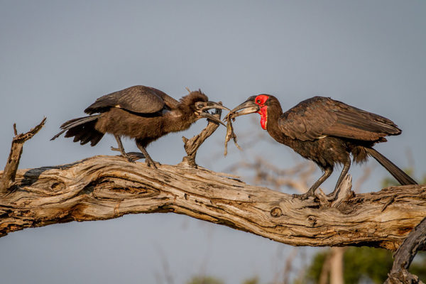 Mabula Game Lodge ground hornbills in a tree
