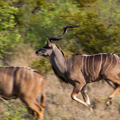 Mabula Game Lodge running kudu