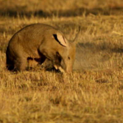 A rare sighting of an aardvark.