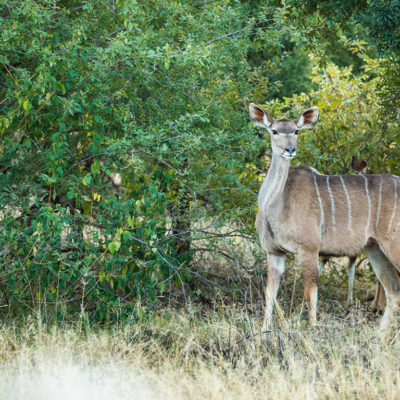 Kudu female grazing.