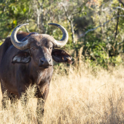 Mabula Game Lodge Buffalo standing in the tall grass.
