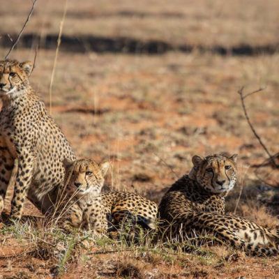 Cheetah family relaxing together in the veld