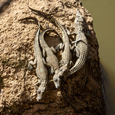 Baby crocodiles absorbing heat in the sun on top of a rock.