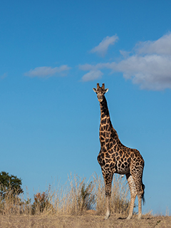 A giraffe at Mabula Game Lodge