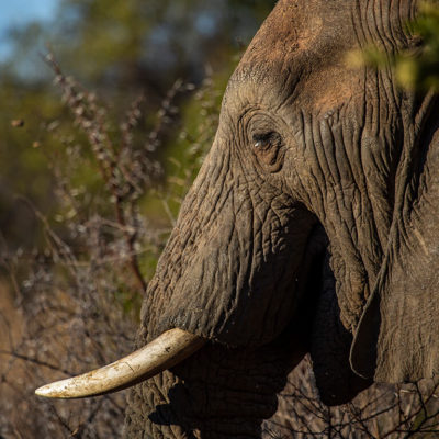 Just one of the many elephants on the Mabula Game Reserve.