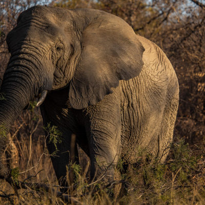 Another elephant just roaming in the bushveld.