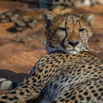 A sleepy cheetah getting ready for a nap.