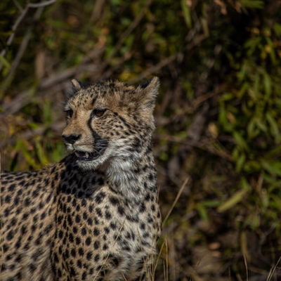 One of the cheetahs at Mabula Game Lodge