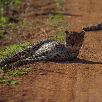 A cheetah lying on the skirt of the road just relaxing
