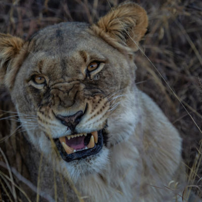 A snarlingly lioness greeting guests.