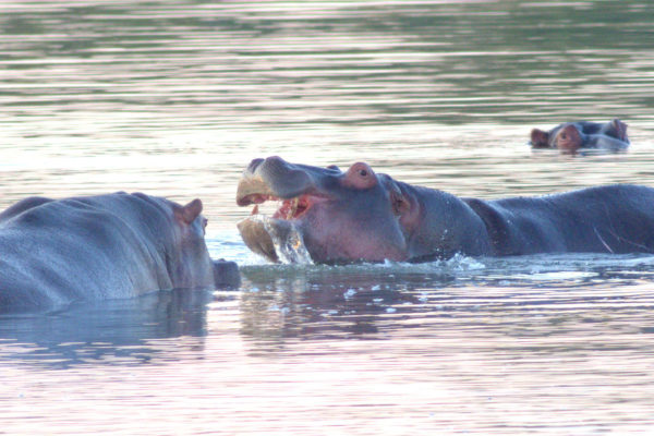 Mabula-Game-Lodge-hippo