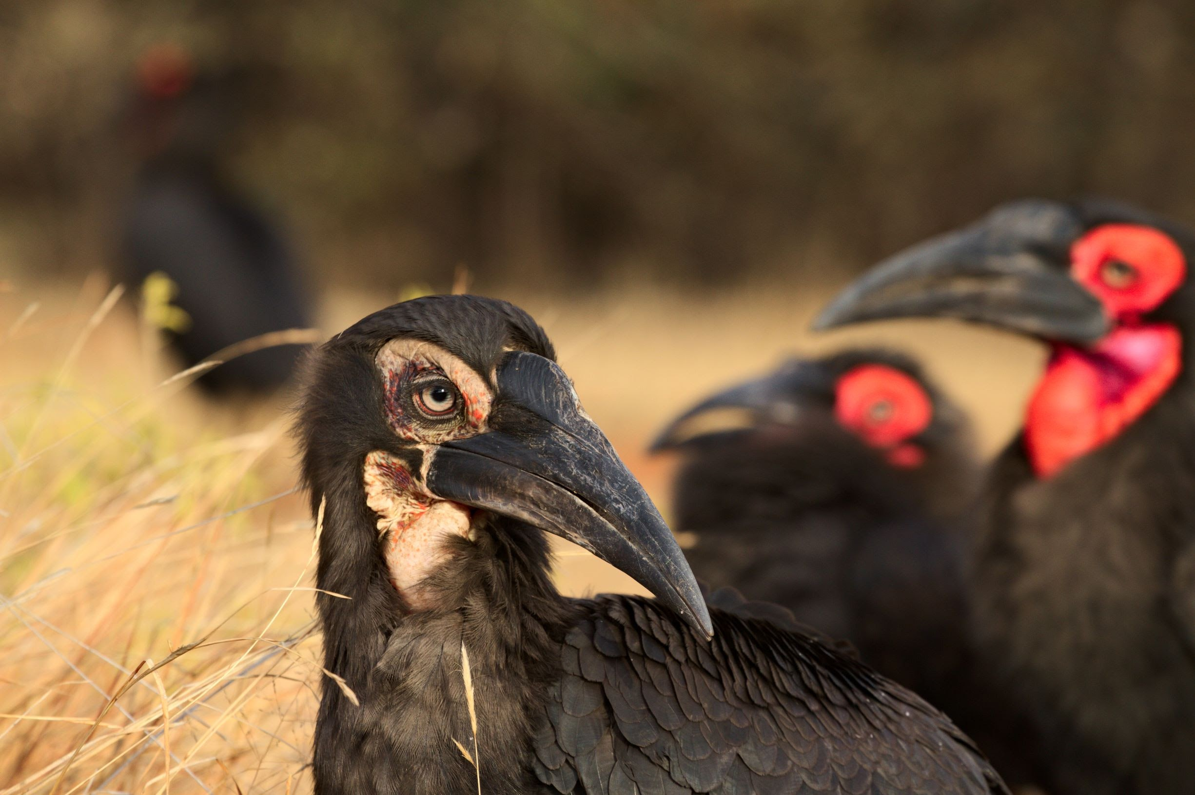 South African conservationist awarded for community approach to conserving the Southern Ground-hornbill