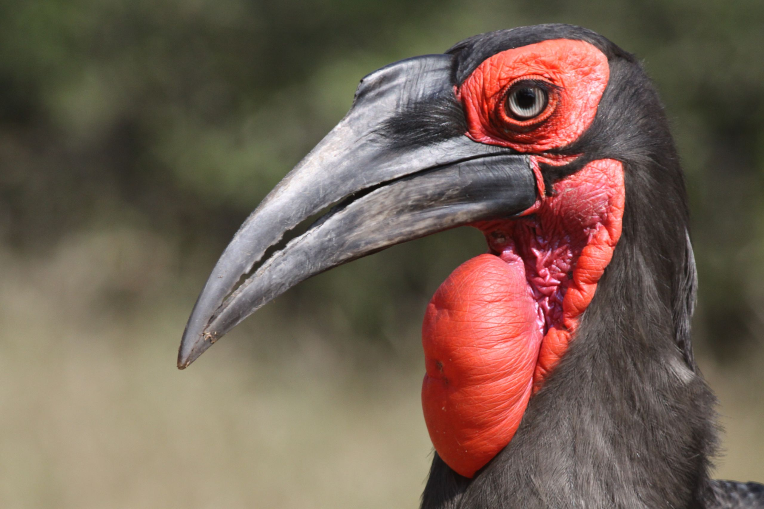 Mabula Ground Hornbill Project Newsletter JANUARY – APRIL 2020